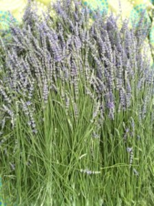 our largest lavender- grosso